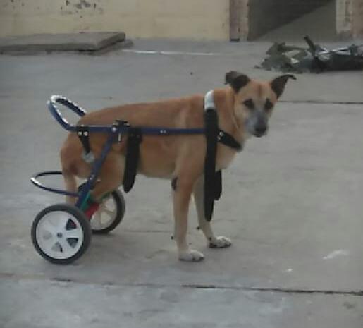 carrito-para-perros-lisiados 2020-09- 15 (02)